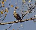 Double-crested Cormorant, juvenile.jpg