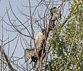 Double-crested Cormorant hanging dead in tree, Saugatuck, MI (37551708732).jpg