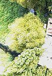 Drone foto van een top van een populier.jpg