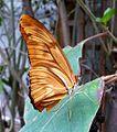 Dryas julia - Flickr - gailhampshire.jpg