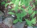 Dryopteris clintoniana cultivated.JPG