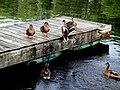 Ducks on a dock.jpg