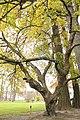 Dverglønn dwarf maple stem trunk.jpg