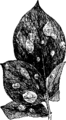 EB1911 Potato Figure 3.png