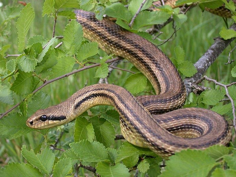 kreikan käärmeet