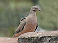Eared Dove Quito RWD3.jpg