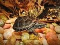Eastern Musk Turtle (35369688276).jpg