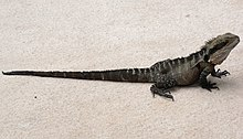 Eastern Water Dragon Full.JPG