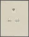 Ebalia pennantii - - Print - Iconographia Zoologica - Special Collections University of Amsterdam - UBAINV0274 096 07 0007.tif