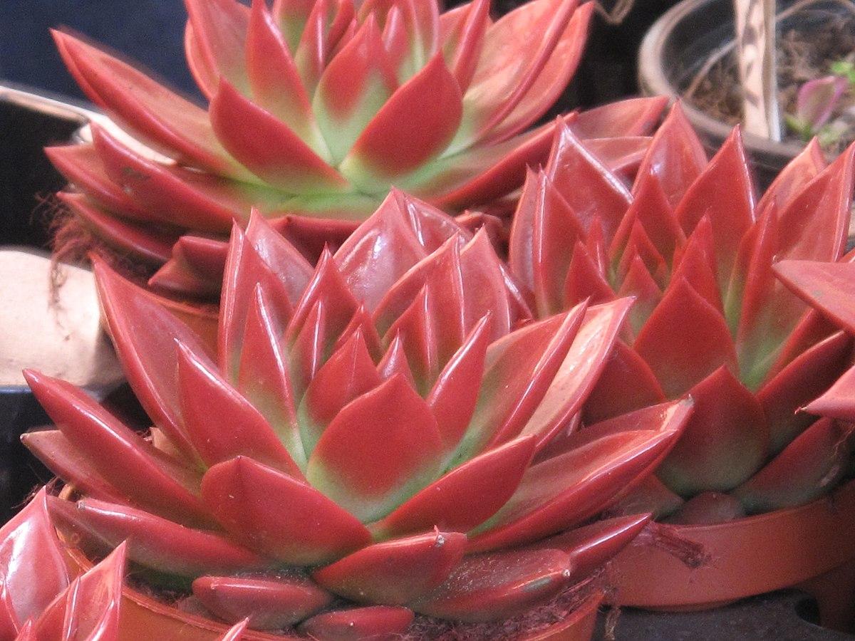 cheap succulents online