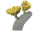 Echinocereus dasyacanthus pm.jpg