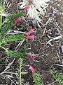 Echium stenosiphon3.jpg