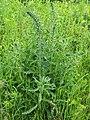 Echium vulgare Żmijowiec zwyczajny 2020-06-07 01.jpg