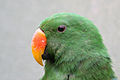Eclectus roratus -Artis Zoo -Netherlands -male -upper body-8a.jpg