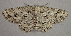 Ectropis crepuscularia, Engrailed, Trawscoed, North Wales, May 2008 (21117517431).jpg