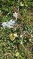 Edelweiss 210817.jpg