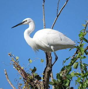 Little egret - Egretta garzetta standing in a tree, Greece