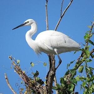 Little egret - Egretta garzetta standing in a tree, Greece