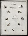 Eight flies (Conopidae species). Coloured etching by M. Harr Wellcome V0022482ER.jpg
