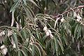 Elaeagnus angustifolia Fruit 1.jpg