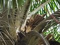 Elaeis guineensis (4631161284).jpg