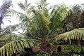 Elaeis guineensis 21zz.jpg