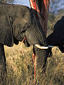 Elephants eating (Loxodonta Africana) (Kruger National Park, 2002) 03.jpg