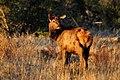 Elk (5481819299).jpg