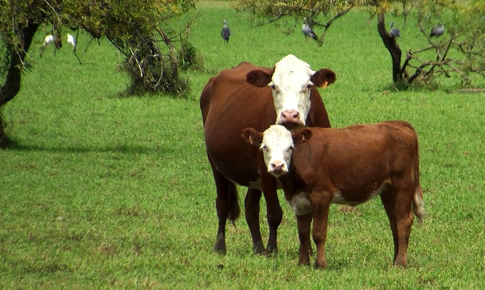 En esteros de farrapos, vacas, garsas y chajás