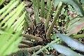Encephalartos msinganus 0zz.jpg
