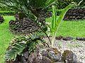 Encephalartos pterogonus furnas 2015 (02).jpg