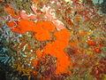 Encrusting sponges at Paindane coral garden dsc04652.jpg