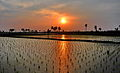 End of Winter. New plantation. Paddy field. Sunset (16527970625).jpg