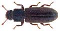 Endeitoma orientalis (Slipinski, 1981) (26829093093).png