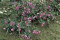 Epilobium latifolium02 WPC.jpg