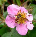 Episyrphus balteatus - Flickr - gailhampshire.jpg