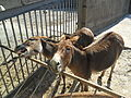 Equus hemionus in Odessa Zoo.jpg