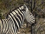 Equus quagga burchellii.jpg