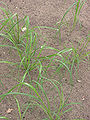 Eragrostis tef (Teff).jpg