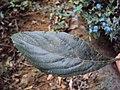 Eranthemum capense at Nedumpoil (7).jpg