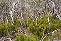 Erica reunionensis regeneration 5 years after wildfire 1.JPG