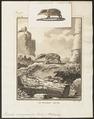 Ericulus semispinosus - 1700-1880 - Print - Iconographia Zoologica - Special Collections University of Amsterdam - UBA01 IZ20900037.tif