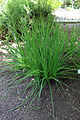 Eryngium paniculatum Jardín botánico de Valencia 02.JPG