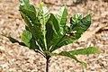 Erythrochiton brasiliensis 8zz.jpg