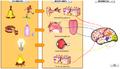 Estímulo-receptor-respuesta.png