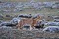 Ethiopian wolf, Sanetti Plateau, Bale Mountains National Park (7) (28667454163).jpg