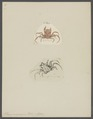 Ethusa mascarone - - Print - Iconographia Zoologica - Special Collections University of Amsterdam - UBAINV0274 096 01 0008.tif