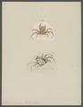 Ethusa mascarone - - Print - Iconographia Zoologica - Special Collections University of Amsterdam - UBAINV0274 096 01 0008.tif
