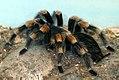 Euathlus smithii 1zz.jpg