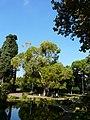 Eucaliptus - arbre d'interès local - parc de Vil·la Amèlia P1280077.jpg